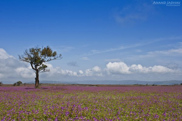 Kaas -The Plateau of Flowers