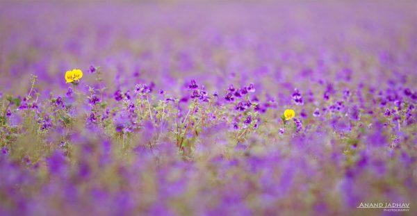 Kaas -The Plateau of Flowers